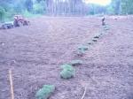 Recuperació de prats seminaturals en antigues plantacions de coníferes a can Ramis